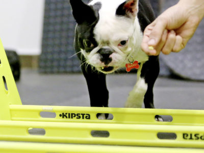 Bulldog aleman en clinica veterinaria